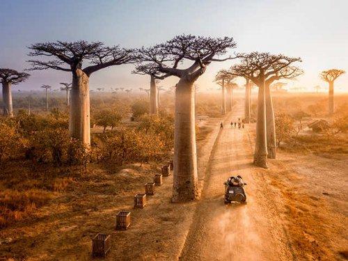 Baobab trees, Madagascar.jpg